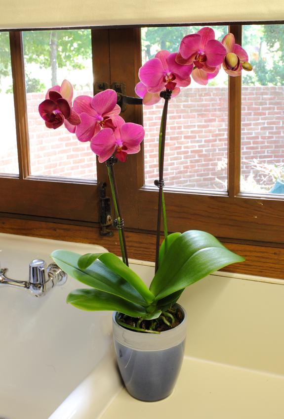 Dark-Pink-Orchid-Sitting-On-Kitchen-Counter