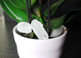 Just Add Ice Orchids Take Guesswork Out of Orchid Care