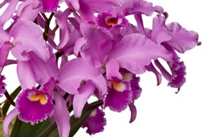 Orchids Named for Christmas - Part Two