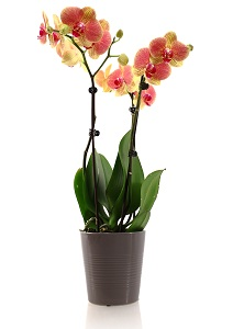 fertilizing phalaenopsis orchids