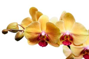 Phalaenopsis Orchids Make the Perfect Holiday Hostess Gift