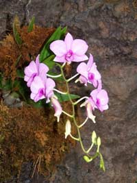 Fun Phalaenopsis Facts