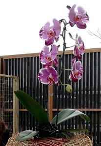 happy venlo orchid