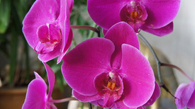 Tips for Selecting a Healthy Orchid