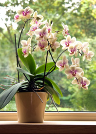 Orchids Like Indirect Sunlight
