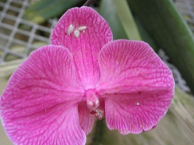 orchid mealy bug