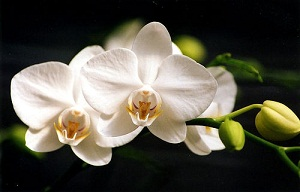 Tips for Taking Stunning Orchid Photos
