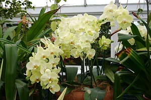 Fertilizer Important for Orchid Reblooming