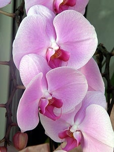 temperature change triggers orchid reblooming. Black Bedroom Furniture Sets. Home Design Ideas