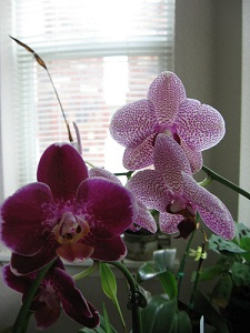 Tips for Getting Orchids to Rebloom