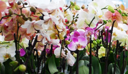 Basic Care of Phalaenopsis Orchids