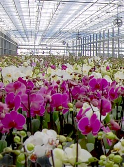 January Is Show Time for Orchids