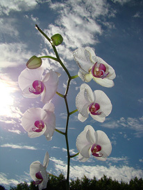 Excess Heat and Humidity Expose Orchids to Disease Risk