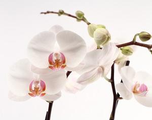 Phalaenopsis Amabilis: Orchid Species Description