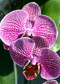 Resources from the American Orchid Society