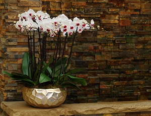 When Should You Repot Your Phalaenopsis Amabilis Hybrid?