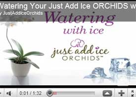 just add ice how to videos demonstrate orchid care basics. Black Bedroom Furniture Sets. Home Design Ideas