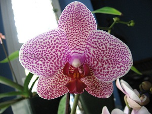 How Do Patterned Orchids Get Their Spots?