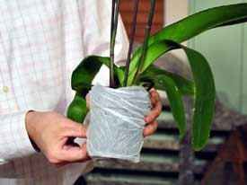 phalaenopsis orchid gifts