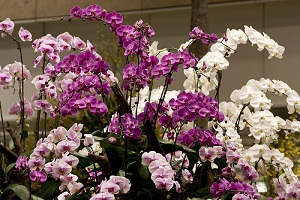 watering phalaenopsis orchids