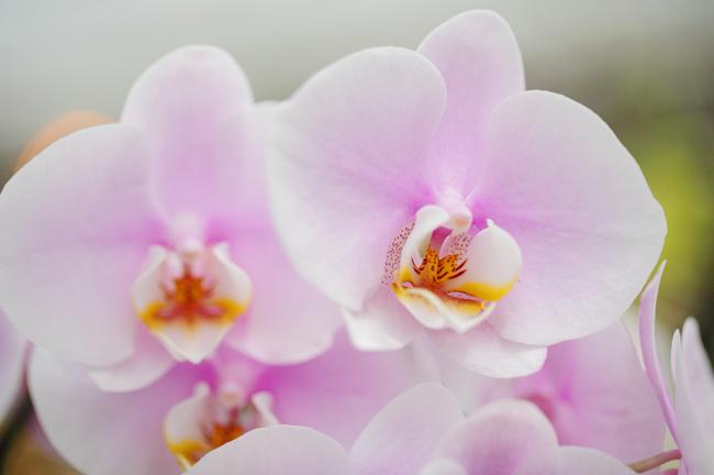 blushing-orchid.jpg