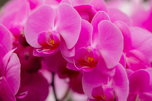 6 Reasons Orchids Make the Perfect Valentine's Day Surprise