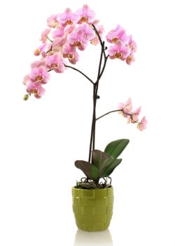 A Visual Guide to Common Phalaenopsis Orchid Afflictions