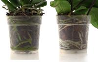 Dry Roots Versus Wet Roots
