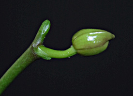 New Buds Example
