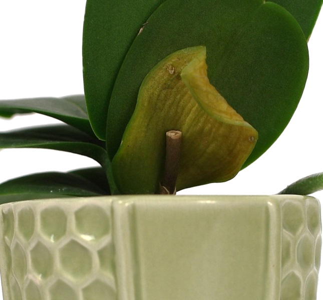 A Good Reason Why a Phalaenopsis Orchid Has a Leaf that Turns Yellow