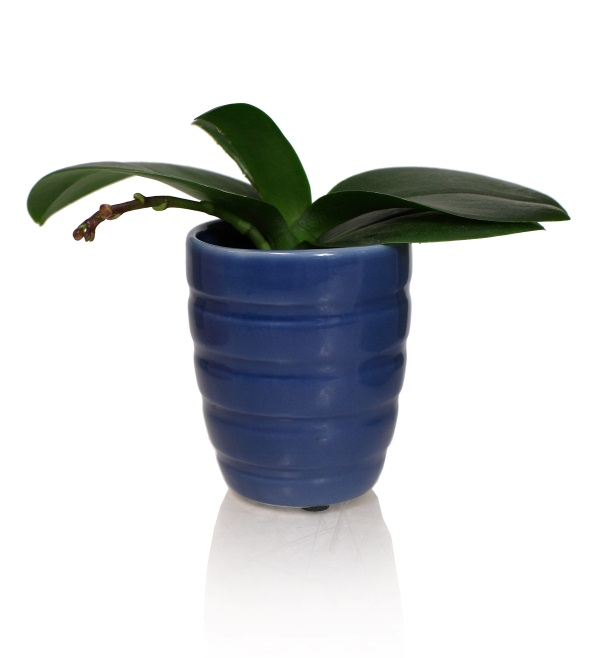 blue orchid pot