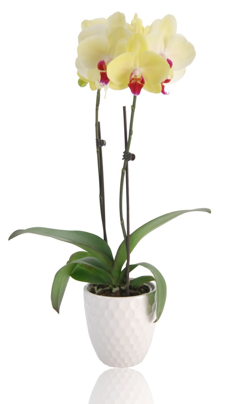 How to Rid Your Phalaenopsis Orchid of Slimy Leaves
