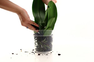 Steps to Repot Phalaenopsis Orchid, Part 2 Of 2