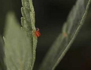 spider mite on orchid leaf