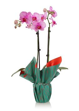 orchid in a gift wrapped pot