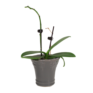 There's No Need to Panic When Your Orchid Blooms Drop