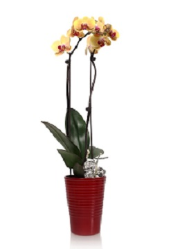 With Phalaenopsis Orchids, Ice Is Nice!