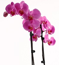 Phalaenopsis Orchid Care: What to Do With Broken Leaves and Stems
