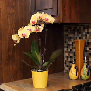 The Phalaenopsis Orchid: The Perfect House Plant, Part 2 Of 2