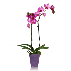 Questions and Answers About Phalaenopsis Orchids, Part 1 Of 2