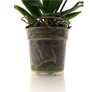 Your Orchid's Roots Have Something to Say... Listen Up!
