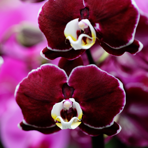 Choosing the Right Orchid for your Décor