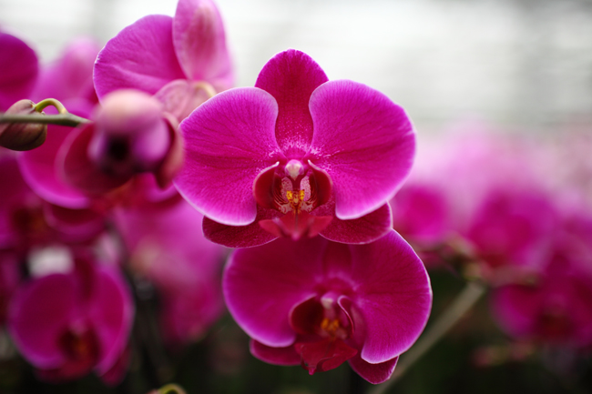 Purple Orchid In Full Bloom