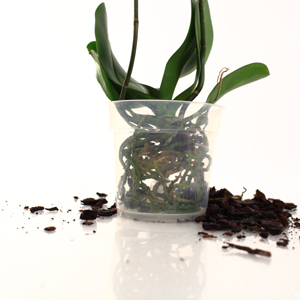 So it's Time to Repot your Phalaenopsis Orchid, Now What? Part 2