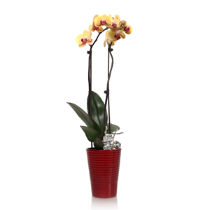3 Essential Tips for Orchid Beginners