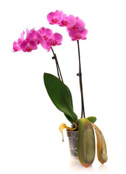 orchid heat stress