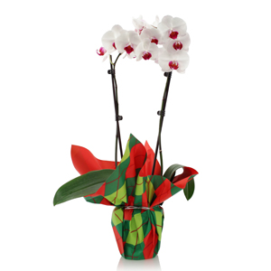 """Just Add Ice Orchids: The """"No-Fuss"""" Gift For the Green-Thumb Challenged"""
