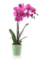 purple orchid in blue pot