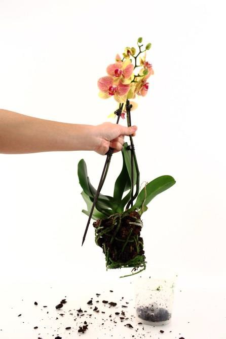Addressing Repotting Questions For Phalaenopsis Orchids