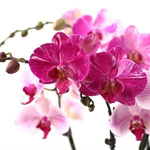 Orchids Are the Perfect Gift for Every Mom on Your Mother's Day List